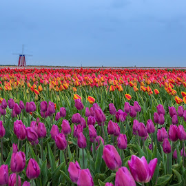 Festival of colors by Hanif Khosravi - Uncategorized All Uncategorized ( tulip farms, windmill, tulip, oregon, canon usa, landscape, flower, canon, tulip garden )