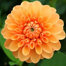 Dahlia by Birgit Tosuni - Flowers Single Flower ( dahlia, autumn, flower )