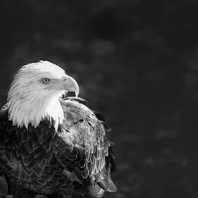 B&W Baldy by Bill Tiepelman - Black & White Animals ( bird, eagle, nature, black and white, bald eagle, feathers )