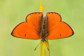 Photo: Grand Cuivré / Cuivré Des Marais, Lycaena Dispar http://lepidoptera-butterflies.blogspot.com/