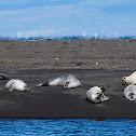 Foca común (Harbor seal)
