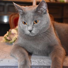 Joconde de Ventadour  by Isabelle Ebens - Animals - Cats Portraits ( cat, chartreux, blue cat )