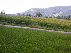 Photo: Trotz grosser Trockenheit im Juni, ein wunderbares hochgewachsenes Maisfeld und Sicht auf die Sissacherfluh