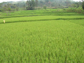 Photo: other crops-paddy.