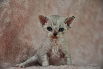Photo: Devon rex - seal torbie with white female - available