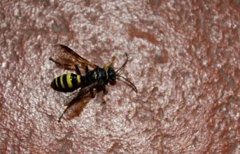 Photo: Gorytes sp.  Hymenoptera > Crabronidae