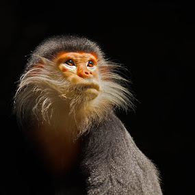 Enlightenment Attained by Ashley Vincent - Animals Other Mammals ( red shanked douc langur, nature impressions, red shanked douc, enlightenment, wise, wisdom, endangered, ashley vincent, monkey )
