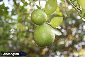 Photo: Lemon garden in Atwari