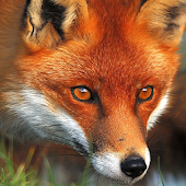 red fox live wallpaper