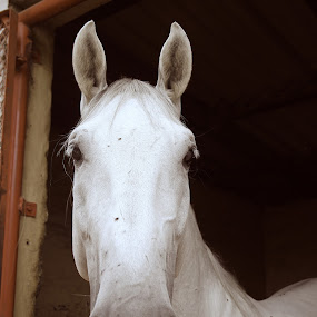 White Feather by Luciana Popa - Animals Horses ( #myhorse, #pic, #animalphotos, #horse, #animals, #atthestables, #stables, #photography, #whitehorse )