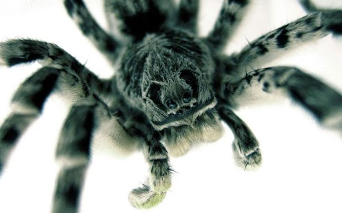 Tarantula Live Wallpaper- screenshot thumbnail