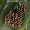 Nothern Paper Wasp