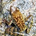Black torrent frog