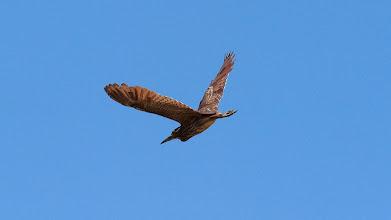 Photo: Nankeen Night-heron (juv) in flight
