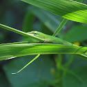 Carolina anole (Anolis carolinensis)