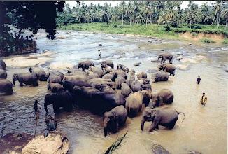 Photo: #009-Le bain des éléphants à Pinnawela