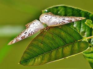 Photo: Anartia jatrophae (engl. White Peacock). Flügelspannweite 51 bis 70 mm. Fotografiert am Amazonaszubringer Rio Napo auf 300 m NN.