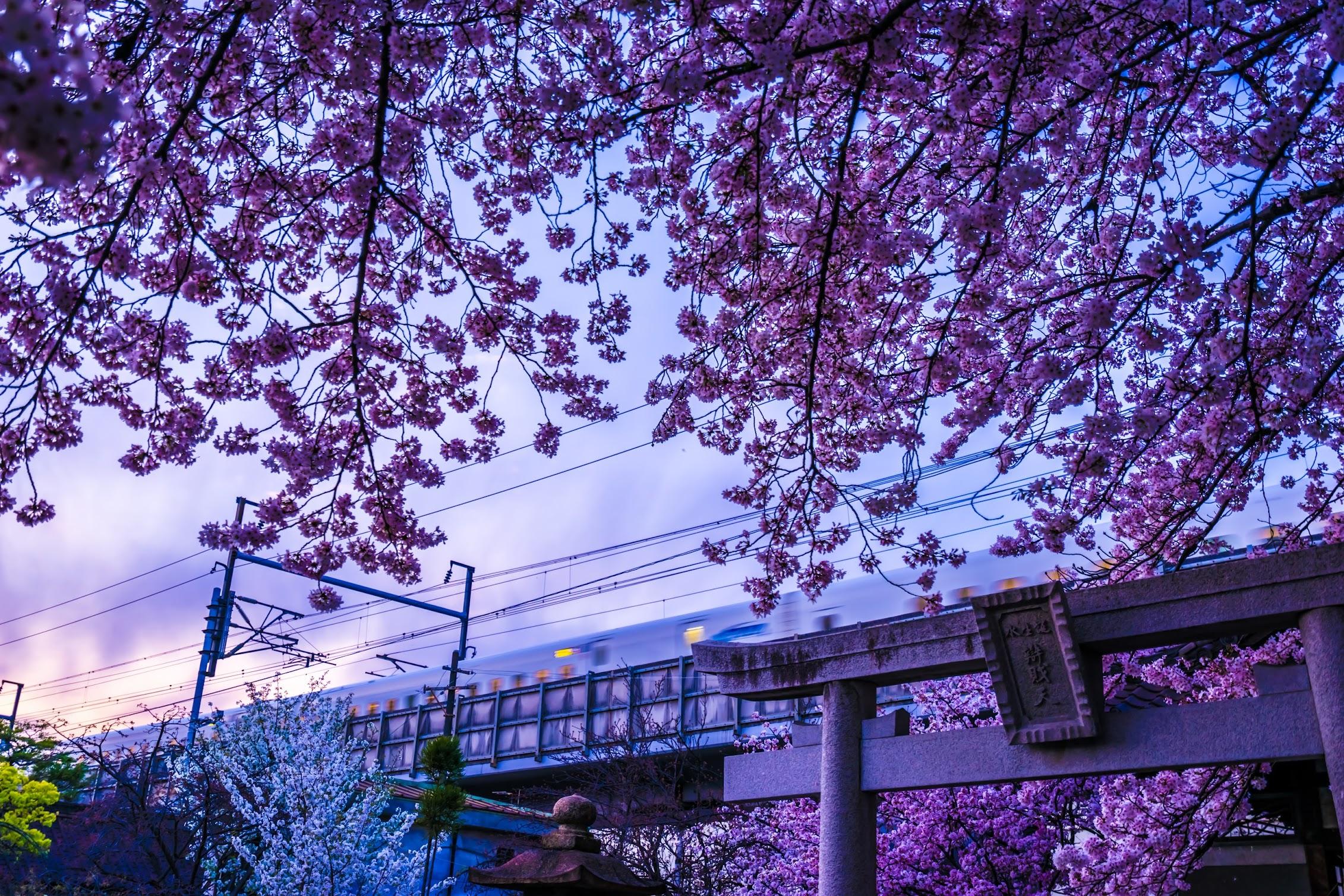 京都 六孫王神社 桜 新幹線