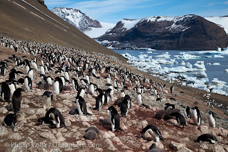 Photo: Adelie penguins at the nest, part of the large nesting colony of penguins that resides along the lower slopes of Devil Island.