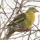 Thick Billed Green Pigeon