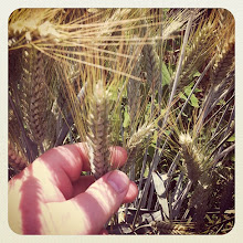 Photo: Wheat close-up #intercer #agriculture #rural #wheat #romania - via Instagram, http://instagr.am/p/L7di1xJfj4/