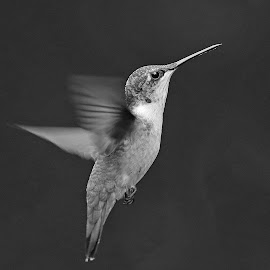Humming in B & W by Anthony Goldman - Black & White Animals ( flight, tampa, bird, hummingbird, b & w, ruby -throat, wild, wildlife,  )