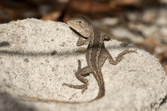 Photo: Hatchling Jacky dragon (Amphibolurus muricatus)