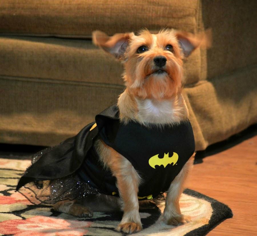 Batgirl by Rhonda Kay - Animals - Dogs Portraits
