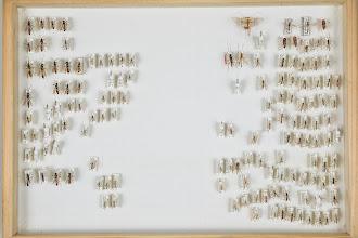 Photo: ZSM-HD-0001520 Ichneumonidae ex coll. Hinz