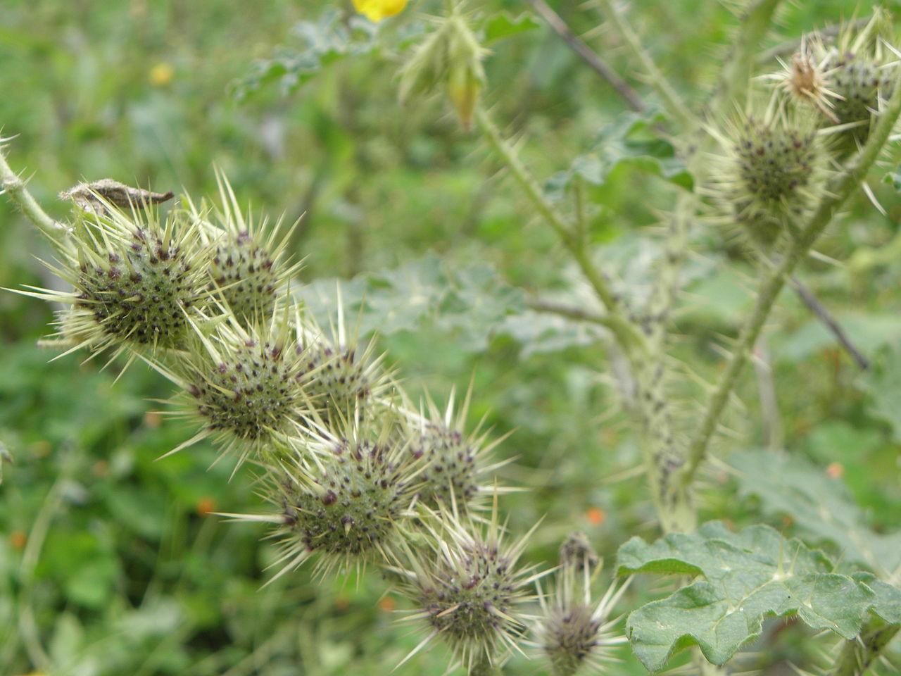 https://upload.wikimedia.org/wikipedia/commons/thumb/4/4a/Solanum_rostratum_RH_(6).jpg/1280px-Solanum_rostratum_RH_(6).jpg