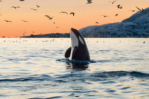 Try to catch a glimpse of an orca breaching the water when you visit Victoria, British Columbia.