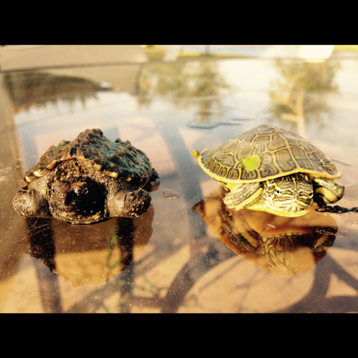 Left: snapping turtle Right: river cooter