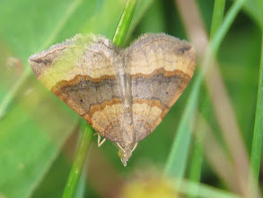 Photo: 16 Jul 13 Priorslee Lake: Lurking deep in long grass and hard to get a clear shot: a Shaded Broad-bar moth. A day-flying species that can be easily disturbed but usually flies to hide in cover and can be hard to see well. (Ed Wilson)
