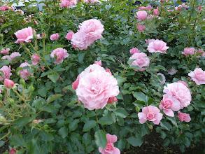 Photo: pretty roses everywhere