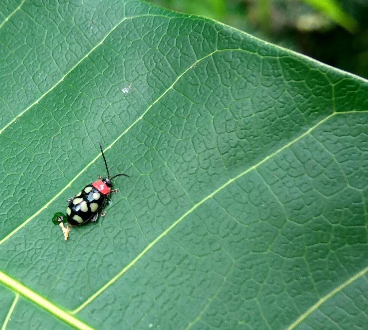 Eight-spotted Flea Beetle