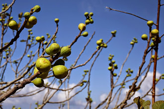 Photo: Ficus carica