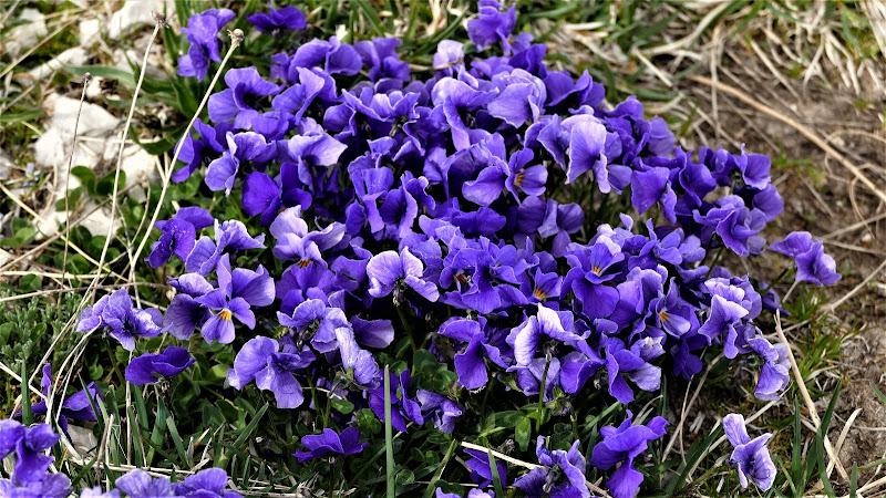 Violets  di Mar955