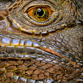 The Eye by Jeremy Mendoza - Animals Amphibians ( lizard, macro, textures, iguana, amphibian, eye,  )