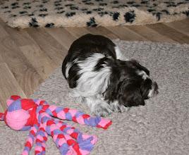 Photo: Toffie ist einfach beim Spielen eingeschlafen ...