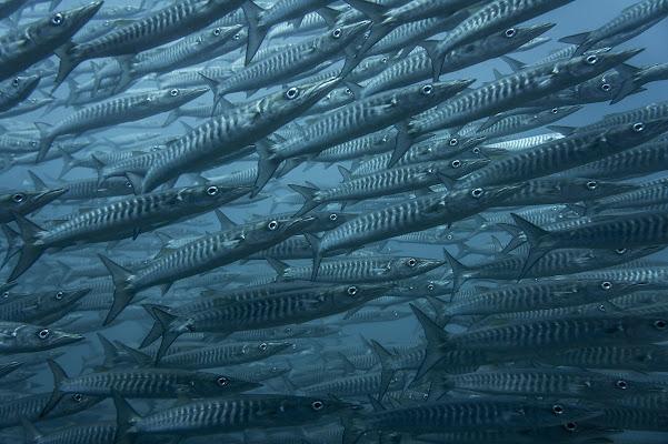 School of Barracudas di mosf