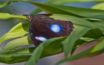 Photo: Great egg-fly butterfly (male) - Edit