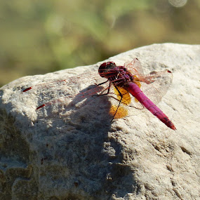 a dragonfly by Amir Elad - Animals Insects & Spiders