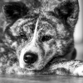 Black & White Akita Inu by Magdalena Sikora - Animals - Dogs Portraits ( black and white, japanese akita, dog portraits )