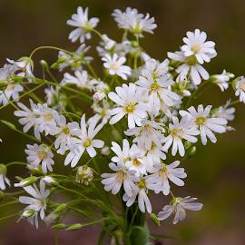 by Irena Gedgaudiene - Flowers Flowers in the Wild