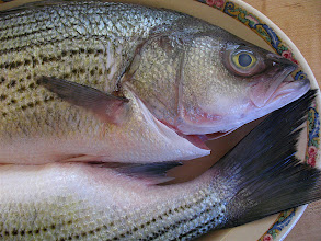 Photo: fresh striped bass