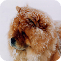 Chow Chow Pack 2 Wallpaper icon