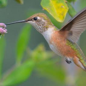 Hummie Close Up by Lyn Daniels - Animals Birds