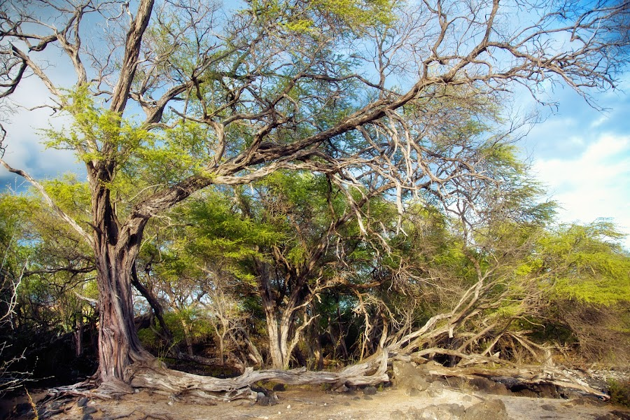 Bending Beauty by Christie Lynn - Landscapes Travel ( maui, nature, colorful, trees, beach )