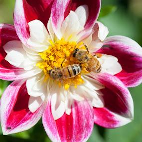 Dahlia Bee Buffet by Judy Wright Lott - Flowers Single Flower ( bellingham, dahlias, plants, honey bees, honey, bees, garden. glen echo gardens, nature, summer, trees, sunshine, botanical garden, flowers, floral )