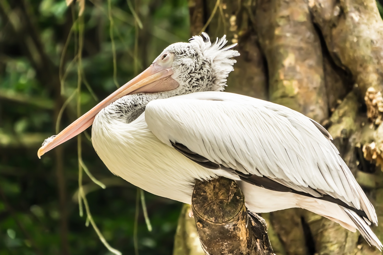 シンガポール動物園 ペリカン